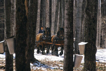two persons only: Horses pulling wagon in maple forest Stock Photo