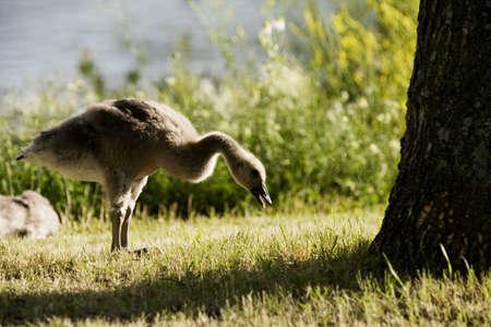wildanimal: Geese by a lake Stock Photo