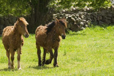 cantabrian: Spanish Cantabrian mountain ponies Stock Photo