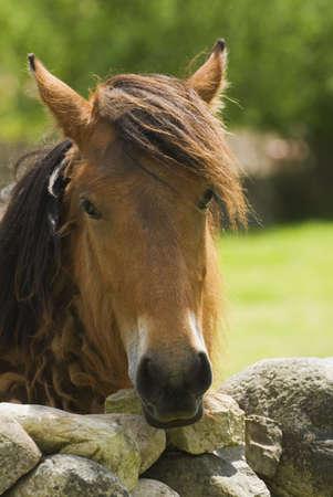 cantabrian: Spanish Cantabrian mountain pony Stock Photo