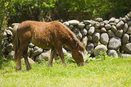 cantabrian: Spanish Cantabrian Mountain Pony Shedding its Winter Coat