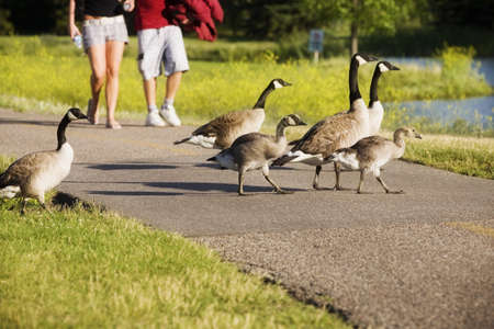 bodypart: Canadian Geese crossing a path