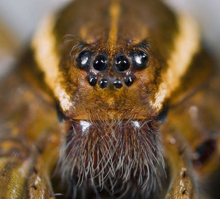 spotted: Face of six spotted fishing spider   Stock Photo