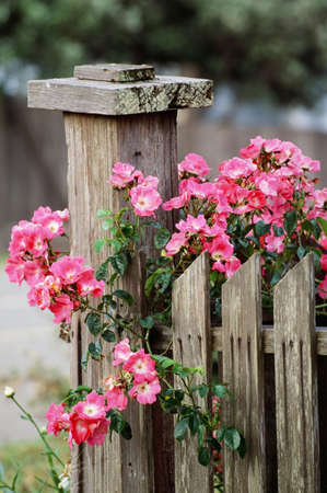 fence: Roses and fencepost