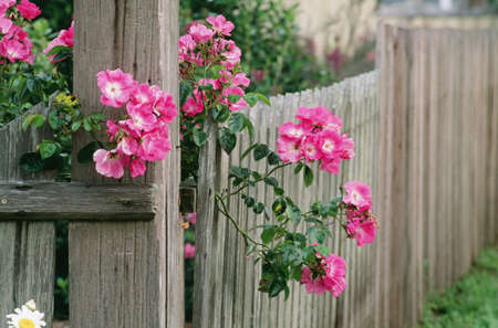 fence: Roses and wooden fence