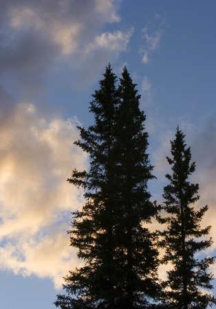 Tall trees Stock Photo - 7207314