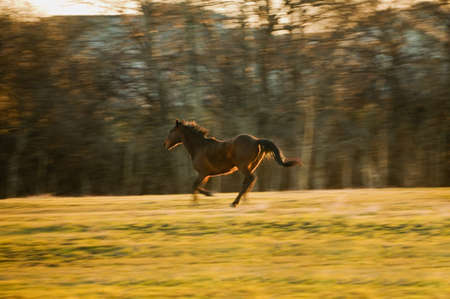 unrestrained: Horse galloping