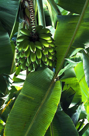 fullframes: Banana tree Stock Photo