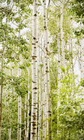 dense forest: Forest of birch trees Stock Photo