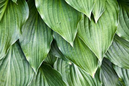 fullframes: Hosta leaves   Stock Photo