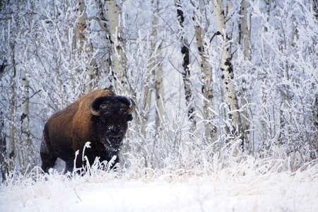 bison: Bison in the snow,Elk Island National Park,Alberta,Canada Stock Photo