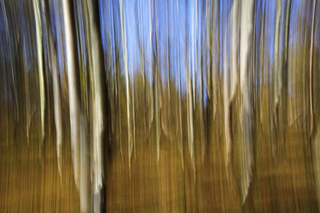 Silver Birch impression