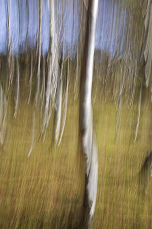 impression: Silver Birch impression,Derbyshire,UK