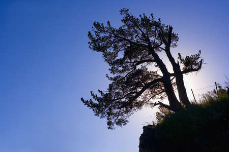 canmore: Silhouette of a tree,Canmore,Alberta,Canada