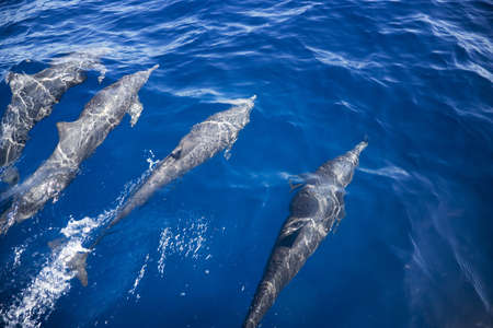 darren: A pod of dolphins swimming Stock Photo