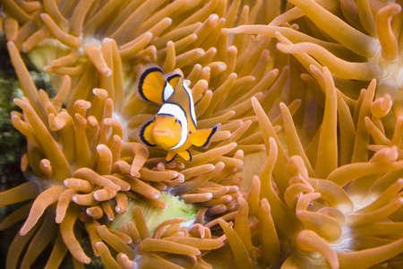 clown fish: Clown fish on a sea anemone Stock Photo