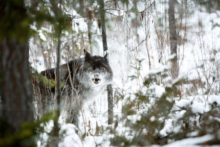 the gray wolf: Wolf in the snow Stock Photo