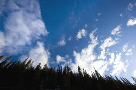 evergreen trees: Looking up at evergreen trees