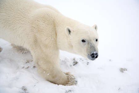 Polar bear Stock Photo - 7208663