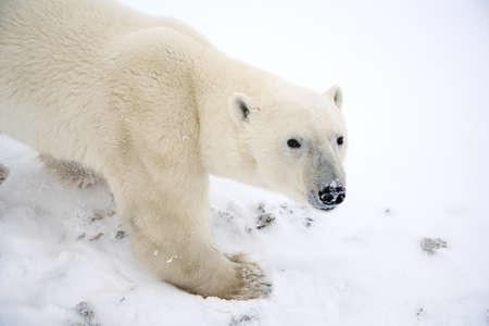 wildanimal: Polar bear