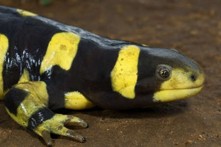 barred: Texas barred tiger salamander (Ambystoma mavortium)