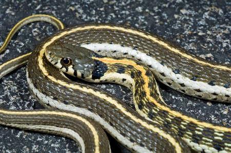 colubridae: A western black-necked garter snake (Thamnophis cyrtopsis)