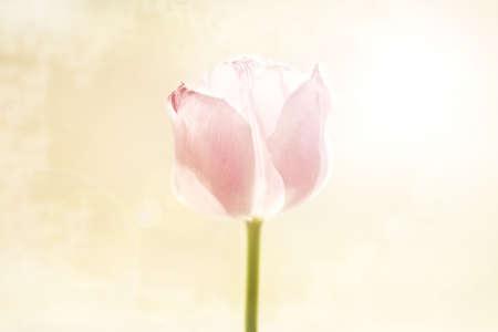 knorr: Pink tulip
