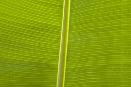 fullframes: Close up of banana leaf