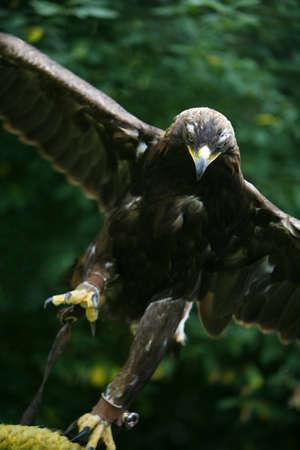 chrysaetos: �guila (Aquila chrysaetos)  Foto de archivo