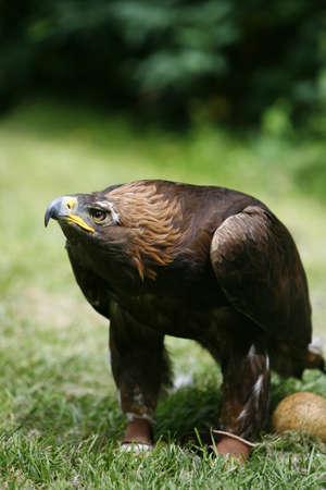 golden eagle: Steinadler (Aquila Chrysaetos) mit Ei  Lizenzfreie Bilder