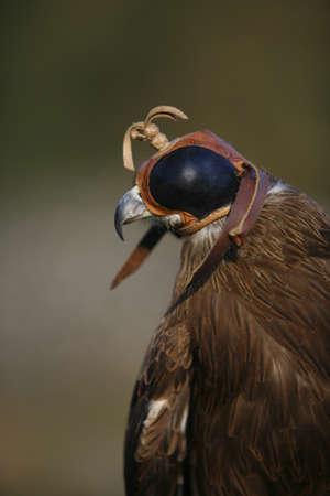milvus: Black Kite bird (Milvus migrans)
