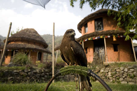 falconry: A black kite (Milvus migrans) used for falconry and parahawking in Pokhara, Nepal, Asia