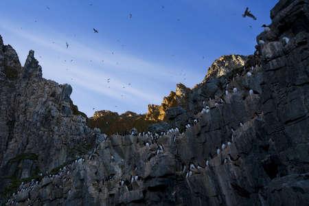 wildanimal: Thick-billed Murres (Uria lomvia) bird colony,Coburg Island,Nunavut,Canada