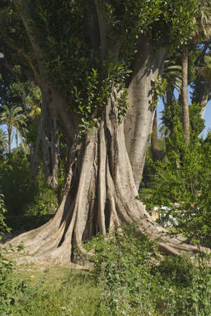 feuille de vigne: Arborescence Banyan