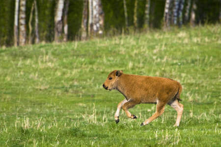 Bison calf in field