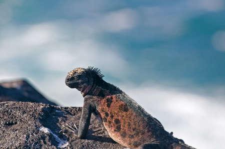 wildanimal: Iguana on rock
