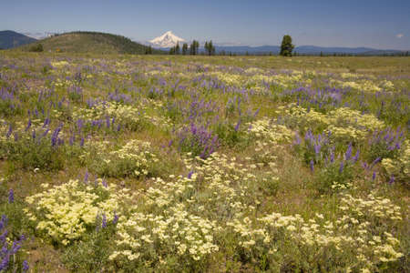 craig tuttle: Field of wildflowers with Mount Hood in the background,Oregon,USA