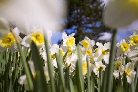 craig tuttle: Daffodils,Willamette Valley,Oregon,USA