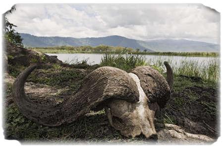 Cape Kafferbuffel schedel, Ngorongoro Crater, Tanzania, Afrika