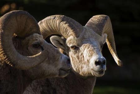 wildanimal: Bighorn sheep,Waterton National Park,Alberta,Canada Stock Photo