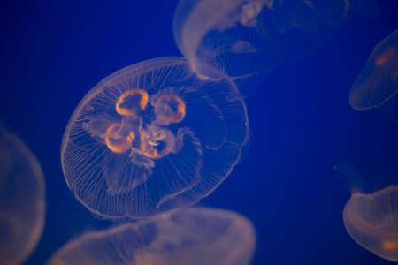 Moon Jellyfish photo