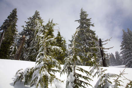 tuttle: Snow covered trees Stock Photo