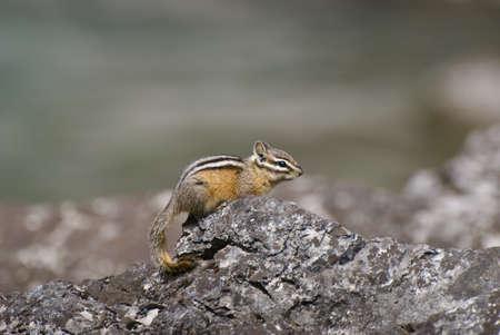wildanimal: Chipmunk