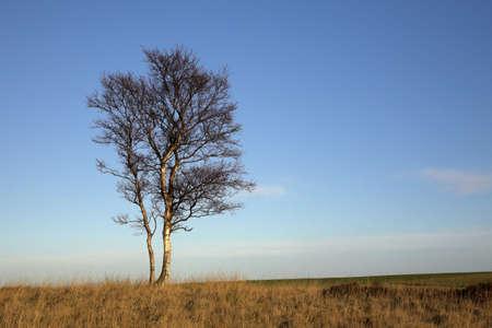 chris upton: Lone Silver Birch Tree