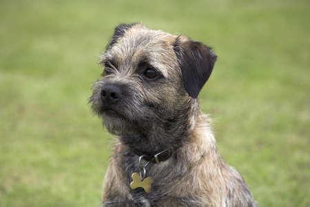 chris upton: Border Terrier