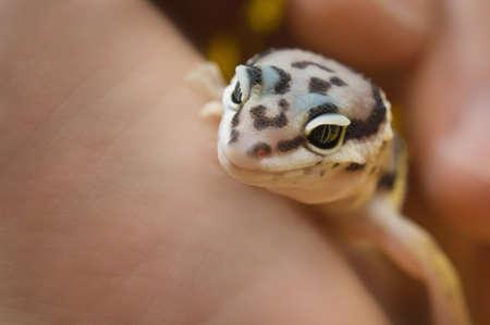 bodypart: Baby Leopard Gecko
