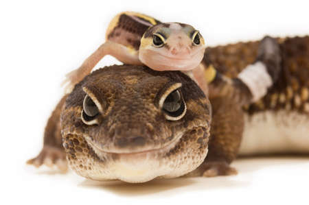 African Fat-Tailed Geckos Stock Photo