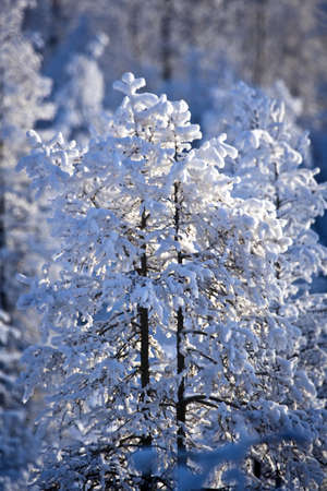 Snow covered treetops,Canada photo