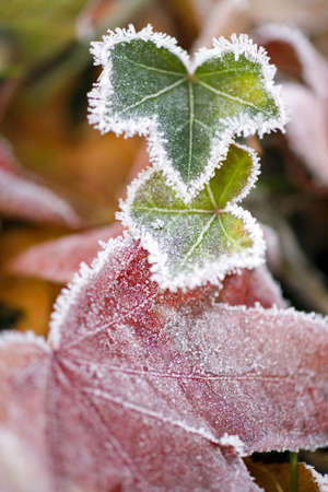 tuttle: Frost on Autumn leaves