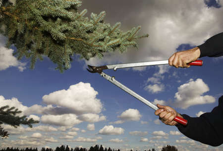 hedge clippers: Arborist clipping pine tree Stock Photo